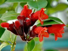 Learn how to care for lipstick plant. Lipstick plant care is simple, all it requires is constantly warm temperature and humid surrounding to grow and thrive.
