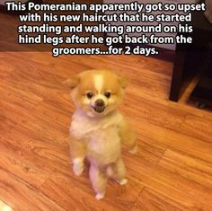 This cracked me up! Especially since my pom comes home from the groomer with that same cut. He seems to like his though.