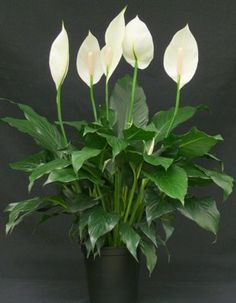 Peace lily (Spathiphyllum 'Mauna Loa'), ___ – live plant in 1 or 5 Gallon Container Pot