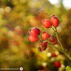 Sommerstimmung - summer atmosphere  (Objektiv: Helios 44)  Hagebutten im Sommer - rose hips in summer