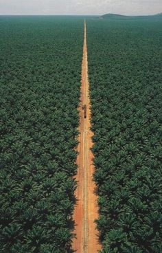 Palm Oil Plantation in The Congo The Places Youll Go, Great Places, Places To Go, Amazing Places, Beautiful World, Beautiful Places, Trees Beautiful, Congo Brazzaville, Foto Poster