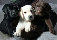 Love Labs-- I have had all three colors. my black labs: Ashley, Goose, Bare Bear and Jake. Yellow Lab, Santana and my Chocolate lab: Max!! all such different personalities..