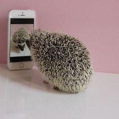 The Adventures of the Hedgehog Calico