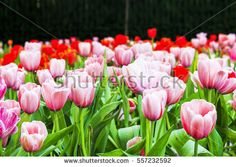 tulips in the park. soft-focus in the background. over light