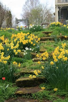 mossy steps lined with daffodils