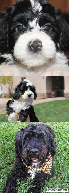 Portuguese water dog - 9 PHOTO!