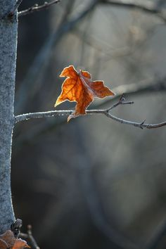 "Reminds me of the story ""The Last Leaf. Autumn Day, Autumn Leaves, Late Autumn, Maple Leaves, The Last Leaf, Autumn Aesthetic, Seasons Of The Year, Orange Grey, Orange Leaf"