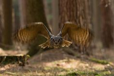Grand duc d'Europe - Eurasian eagle-Owl - Búho Real ( Bubo bubo ) by Milan Zygmunt on 500px