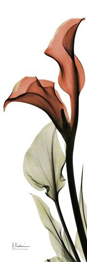Soft Calla Lily Fine-Art Print by Albert Koetsier at UrbanLoftArt.com