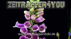 Fingerhut Digitalis Timelapse Zeitraffer Blooming foxglove