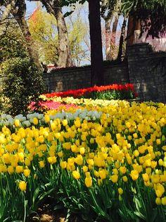 Yellow tulips. Sana sarı laleler aldım çiçek pazarından. Spring, Plants, Beautiful, Planters, Plant, Planting