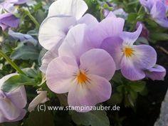 Spring, Springflower, Stiefmütterchen, Pansys, Frühling,  Silvis Stampinzauber  Foto Es wird Frühling ... (c) www.stampinzauber.de