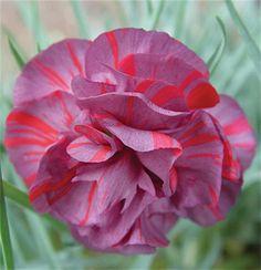 """dianthus chomley farfar flowers   Dianthus caryophyllus """"Chomley Farran"""""""