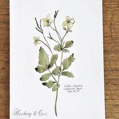 ©Hackney & Co Day 59 #celandine #watercolor #ink #scottish #wildherb #botanicalillustration #botanicalart #healingherbs #herbs #organic #foraging #wildherbillustration #herbology #100daysofillustration #hackneyandco100days
