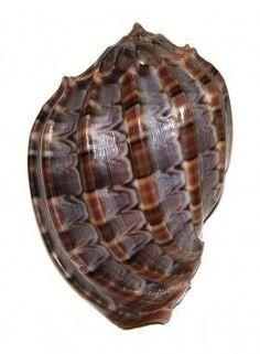 Sea Shell 74
