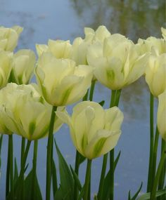 "Tulip Spring Green.  20"" May. Selections from the Van Engelen Flower Bulbs Catalog"