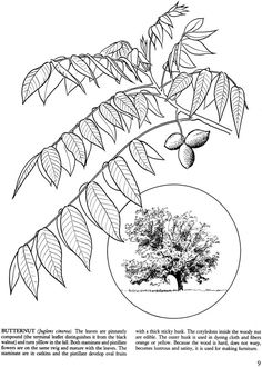 Trees of the Northeast - Butternut:  Dover Publications samples