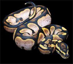Sugar Ball Python