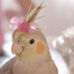 cockatiel with a bow Cute Baby Animals, Animals And Pets, Funny Animals, Funny Birds, Cute Birds, Hamsters, Funny Parrots, Budgies, Pet Names