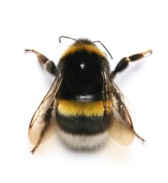 Bumble Bee pic