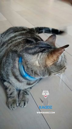 Igor wearing the KADDZ-Prototype I Cat Collars, Gps Tracking, Models, Cats, How To Wear, Animals, Templates, Gatos, Animales