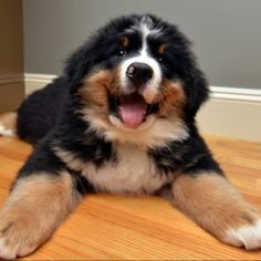 This giant fluff ball is overwhelmed with love. | Community Post: 19 Bernese Mountain Puppies Who Just Want To Make Your Day Better