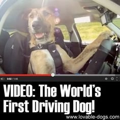 VIDEO: The Worlds First Driving Dog ►► http://lovable-dogs.com/video-the-worlds-first-driving-dog/?i=p