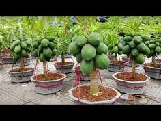 Strange Papaya Bonsai Trees in Pots Make You Millionaire - Amazing Agriculture Technology Eco Garden, Vegetable Garden Design, Fruit Garden, Edible Garden, Bonsai Fruit Tree, Dwarf Fruit Trees, Fruit Plants, Papaya Plant, Papaya Tree