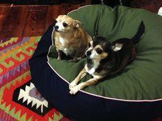 Chihuahuas, Lola & Chieko, - Barka Parka