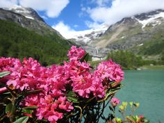 www.swissalpinehoney.com_This is where my Val Poschiavo alpine rose honey comes from_pure, so pure...
