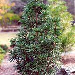 Sciadopitys verticillata 'Sternschnuppe' - pine 4-5'