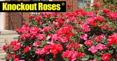 Knockout Roses Care: Growing Knock Out Roses TIPS] knockout-ro. Knockout Roses Care: Growing Knock Out Roses TIPS] knockout-ro. Knockout Roses Care, Knockout Rose Tree, Types Of Rose Bushes, Types Of Roses, Garden Care, Patio Trees, Rose Care, Planting Roses, Useful Life Hacks