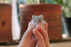 Baby hamster...