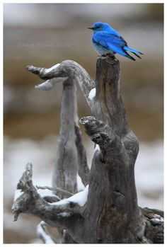 ✯ Mountain Blue Bird - Yellowstone National Park, Wyoming .. By ~Nate-Zeman ✯