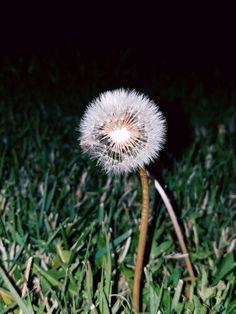 Just a Dandelion