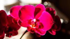 Autumn - Phalenopsis-Orchid