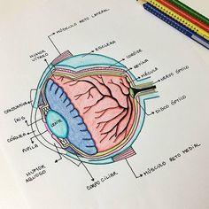 "Polubienia: 5,881, komentarze: 66 – Diário de um veterinário (@diariodeumveterinario) na Instagramie: ""@veterinanda_ Anatomia do Olho . _____________________ Snapchat: diariodeumvet Facebook: Diário…"""