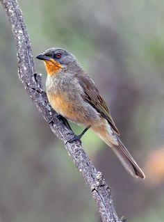 Gilbert's Whistler. Birds of Australia.