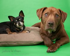 Chuy & Kobe 1776 & 1777 > Blind Labrador and her seeing-eye dog need a home together...