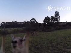 The only thing more fun than a drone-borne camera is a drone-borne camera getting attacked by an animal.