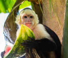 A Capuchin monkey enjoys a slice of watermelon in Costa Rica
