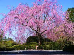 京都妙心寺退蔵院の桜