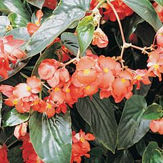 """Dragon Wing Red Begonia. It really is a super amazing easy to grow plant! I have a 16"""" pot with 3 plants in it and it is huge with clumps of red flowers everywhere. I've even seen hummingbirds hover and stare at the flowers wishing they could get some nectar from it (but they can't). My red dragon wing begonia signals the hummingbirds to stop by and my feeder rewards them!"""