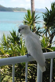 Cheeky Cockatoo in the Whitsundays, Australia - My Own Balance