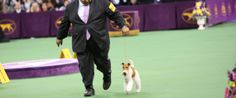 Westminster Kennel Club Dog Show 2014 Names WIRE Fox Terrier 138th Winner. #Lifestyle with dogs. www.albertalagrup.com