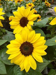 """Sunflowers  """"Suntastic Yellow"""""""