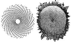In the world of nature, growth always happens by adding some unit, even if the unit is as small as a molecule. So it's not surprising that phi turns out to be an ideal rate of growth in nature. For example: the sunflower has two interlaced logarithmic spirals: 21 clockwise spirals and 34 counterclockwise spirals which numbers are subsequent numbers of the Fibonacci sequence! Comparable opposite arrangements of logarithmic spirals, associated with Fibonacci numbers, occur also by the daisy…