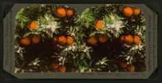 Orange Blossoms and Fruit, Los Angeles, Cal., U.S.A.