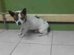 PACO  -URGENT - L.A. COUNTY ANIMAL CARE CONTROL: CARSON SHELTER in Gardena, CA -Chihuahua • Adult • Male