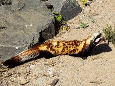 """Marbled Polecat; a small mammal belonging to the monotypic genus Vormela within the Mustelinae subfamily. Vormela is from the German word Würmlein, which means """"little worm"""". The term peregusna comes from perehuznya, which is Ukrainian for polecat.   Marbled polecats are generally found in the drier areas and grasslands of southeastern Europe to western China. Like other members of Mustelinae, it can emit a strong-smelling secretion from anal sacs under the tail when threatened."""